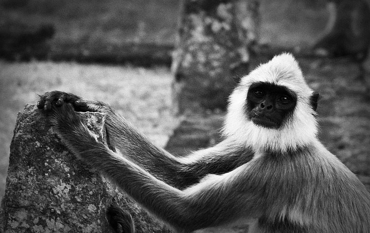 B&W - Monkey